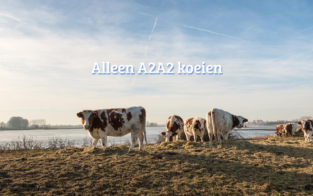 alleen A2A2 koeien